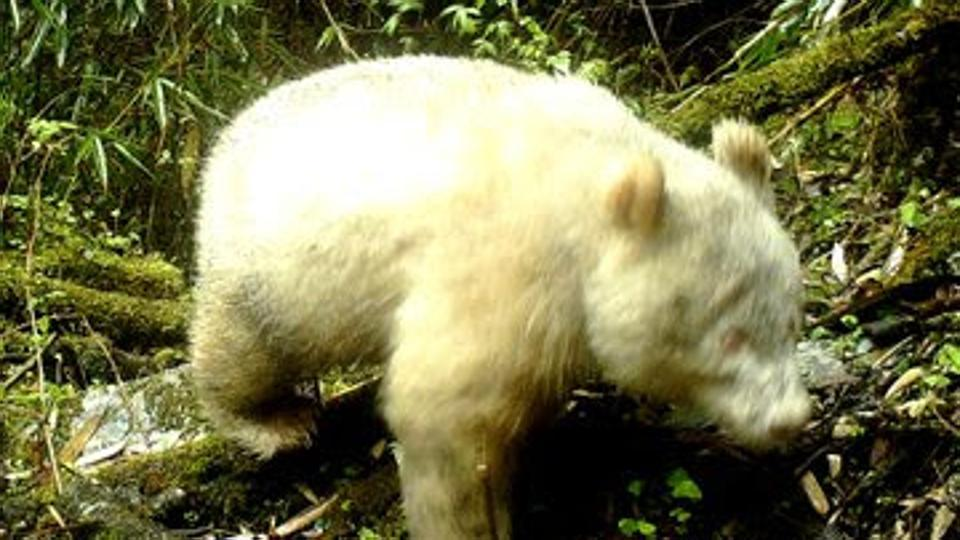 Rare all-white panda caught on camera at nature reserve in China