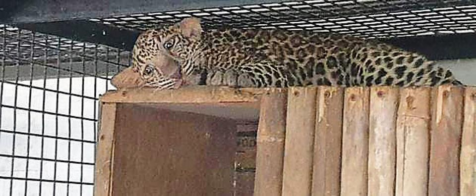 Three arrested in Maharashtra for smuggling two leopard cubs