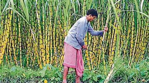 In a bid to help cane farmers, Centre extends loan deadline to sugar mills