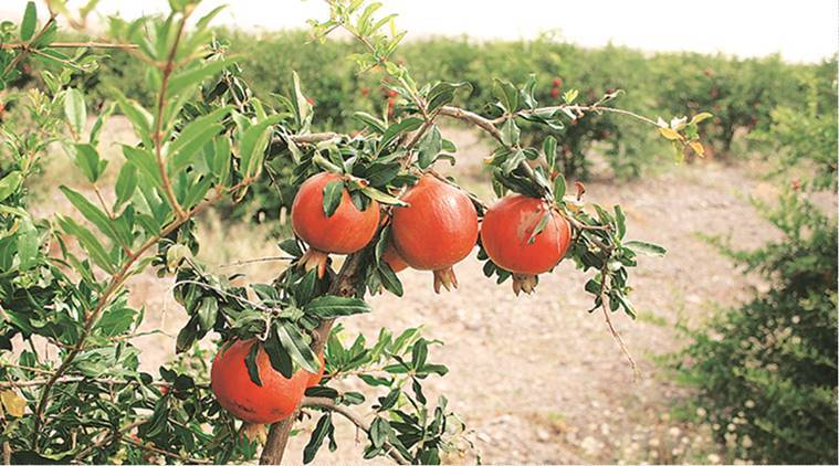 As production hit by moisture stress, pomegranate farmers in Maharashtra share woes of mango growers