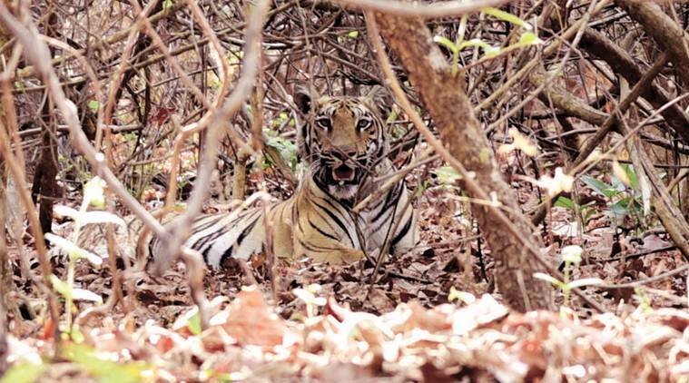 Tiger kills one in Brahmapuri forest in Chandrapur district