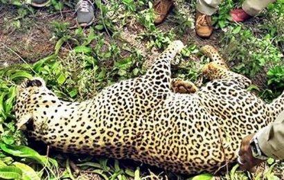 Leopard caught in snare dies