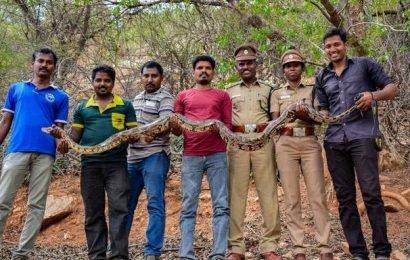 Rock python rescued in Nagamalai Pudukottai