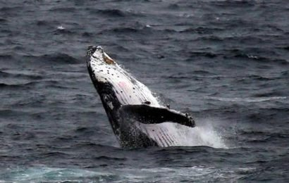 Japan remains steadfast in its yen for whaling
