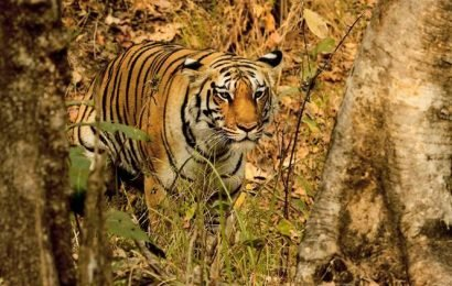 International Tiger Day 2019: Relocation of tigers a 'mindless distraction', say experts