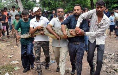 Floods bring crocodiles to Vadodara streets, seven rescued