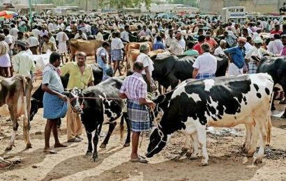 Arrival of cattle to the shandy drops