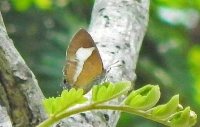Rare butterfly sighted at Yercaud