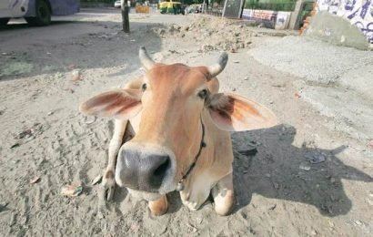 Man transporting cows assaulted in Rajasthan: police