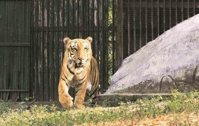 Mumbai zoo may get 2 tigers from Aurangabad