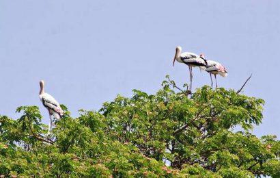 'Ranganathittu, Kokkare Bellur birds safe'