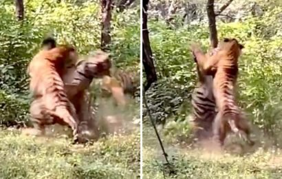 Video captures tigers fighting in Ranthambore. It's brutal and violent