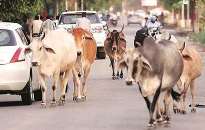 Stray cattle turning 'non-vegetarian', sent for treatment: Goa minister