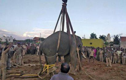 Two wild elephants captured