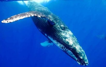 Scientists measure blue whale's heart rate
