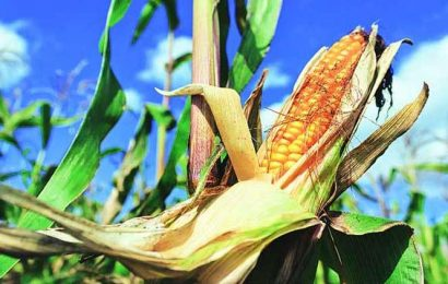 PAU to stop rice breeding programmes for longer duration varieties, focus on maize