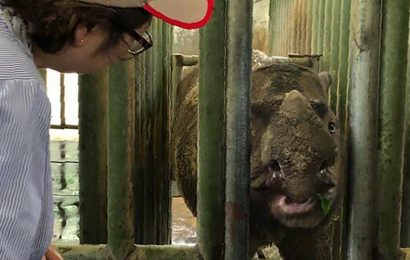 Sumatran rhino is extinct in Malaysia as lone survivor dies