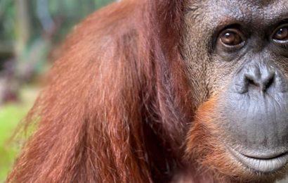 Orangutan gets 'personhood' title. Settles in new Florida home