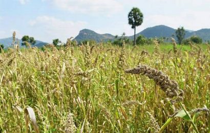 Yield is good for millet farmers of Kottampatti