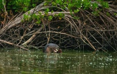 First sighting of smooth-coated otters in Puducherry