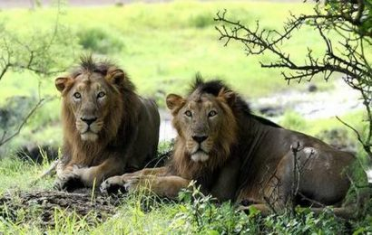 Man goes to defecate in Gir forest, lion kills him