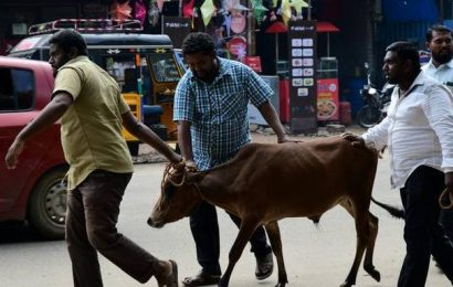 Stray cattle menace returns to haunt road users