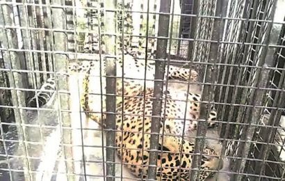 Panchkula: Three-year-old leopardess stuck in barbed-wire around BJP leader's farmhouse rescued, released
