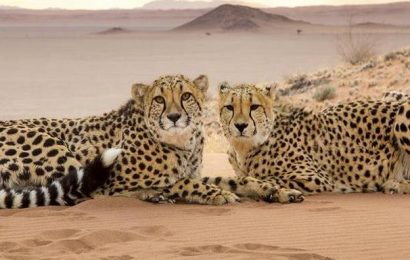 African cheetahs to prowl Indian forests