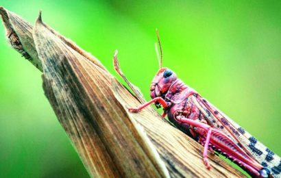 Locusts appearance in winter a new phenomenon, may be linked to climate change: PAU