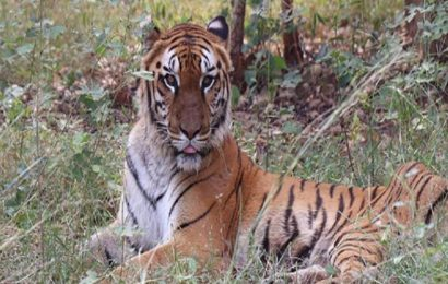 Tigers chase tourist bus in Raipur Jungle Safari, workers suspended after video went viral