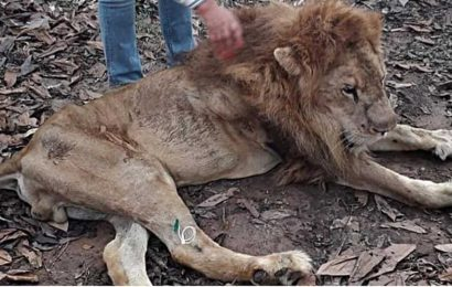 Emaciated lion Jupiter to return home to his human 'mother'