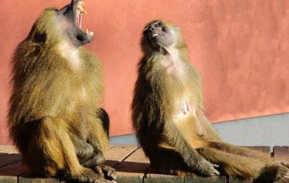 Baboon flees with two 'wives' on the way to operation, later captured