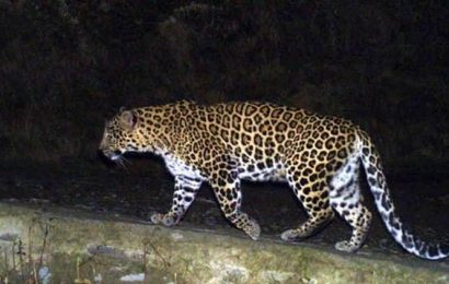 Maharashtra: Two leopards, as many sloth bears electrocuted  in Chandrapur