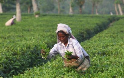 Small tea growers' produced 685.08 million kg in 2019
