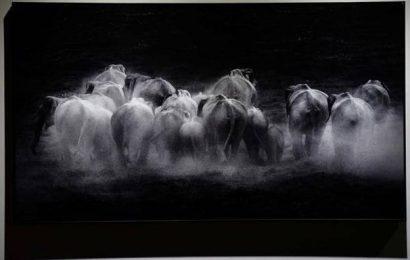 Kari, an exhibition of photographs by Praveen Mohandas in Thiruvananthapuram, zooms in on elephants