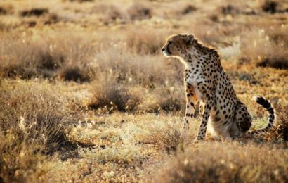 Watch | India's move to bring back cheetahs