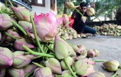 Lotus farmers confident as pink flower finds value addition