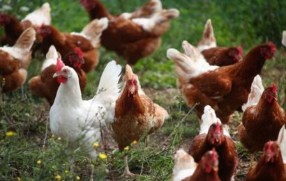 Poultry farmers in Karnataka, Kerala hit by bird flu