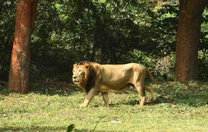 261 lions, cubs died in Gujarat in last two years