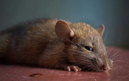 Smelling a rat: Rodents cooperate and sniff out other rats in need