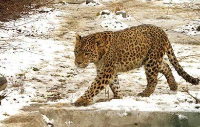 Leopard claims 4th victim in Karnataka's Tumkur, sparks panic
