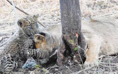 A lioness takes care of a leopard cub in Gir national park