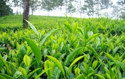 Pandemic turns tea a bitter brew for plantations