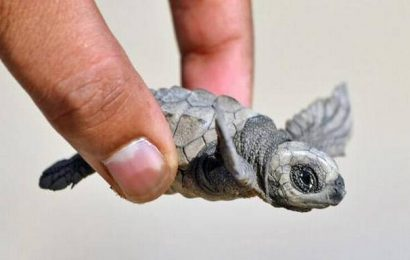 10,000 Olive Ridley hatchlings released into the sea