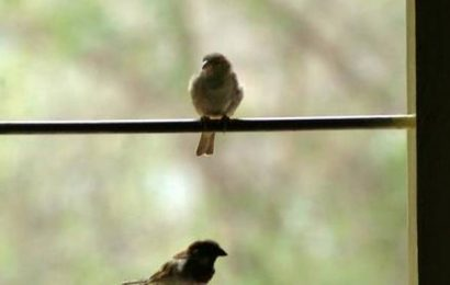 How you can bring the sparrows back