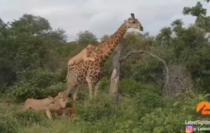 Lions attack giraffe, one big cat clings onto its back. What happens next is incredible