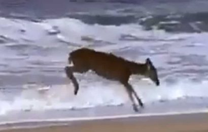 Fact Check: Is this deer playing at a beach in Odisha amid lockdown? Here's the truth