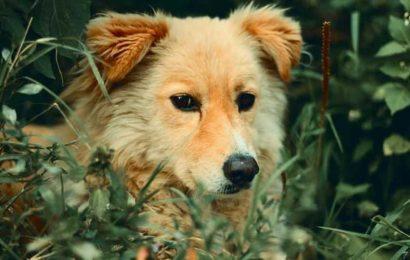 Stray dogs may be the origin of coronavirus pandemic. Here's how