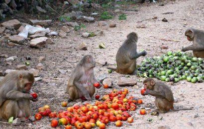 Starving monkeys find saviour in Ramanagara BJP president