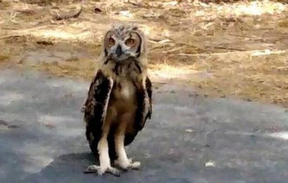 Rarely sighted Indian Eagle Owl creates flutter near Chittoor